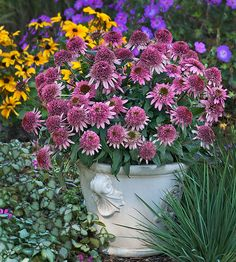 Echinacea 'Butterfly Kisses'  Compact, erect, and covered with bright pink pompom flowers, 'Butterfly Kisses' deserves special space in your perennial border or container garden. The flowers are fragrant, measure 3 inches across, and are held like little umbrellas above the deep green foliage. If you love the pompom-type of coneflower, this new introduction deserves a try; it's a member of the Conefections series.