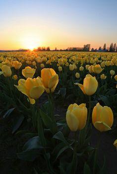 Skagit Valley Tulip Fields in Washington Yellow Tulips, Tulips Flowers, Beautiful Flowers, Beautiful Places, Cactus Flower, Exotic Flowers, Purple Flowers, Spring Flowers, Pink Roses