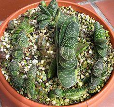 : Gasteria bicolor var. liliputana