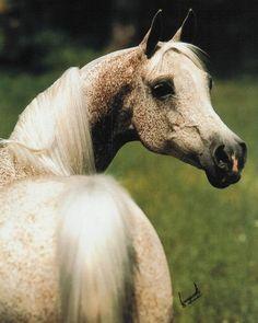 GWYNDALYN (*Bask++ x *Gwyn, by Comet) 1970 grey mare bred by Lasma Arabian Stud Produced 16 registered purebreds, including US National Champion STRIKE