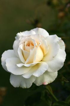 'Mt. Hood'   Grandiflora, Hybrid Tea Rose. Samuel Darragh McGredy IV (1988)…