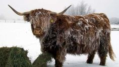 Uncle Hershel always said Scottish Highlanders wasnt a good cattle breed. Highland Cow Art, Highland Cattle, Mini Cows, Mini Farm, Cow Pictures, Cute Animal Pictures, Cow Pics, Farm Animals, Cute Animals