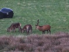 Cornish Chickpea: Wild Deer Spotting The mighty stag and his harem. #Cornwall