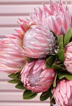 The King protea is the most popular variety, having one of the largest flower heads in the protea family. They are stunning in the garden, on the patio and in flower arrangements. Protea Art, Flor Protea, Protea Flower, Cactus Flower, Tropical Flowers, Exotic Flowers, Amazing Flowers, Beautiful Flowers, Beautiful Flower Arrangements
