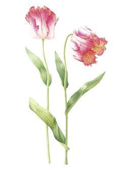 The Wagon House » Mally Francis FLS – Botanical Painting