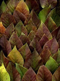 52431 Syringa vulgaris by horticultural art, via Flickr