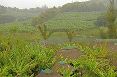 Banana trees,  South Coast Kwazulu Natal Province South Africa#green#trees#PhotoJdB