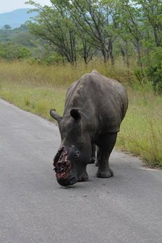 "In Kruger reserve this week!! ""The animal survived for several days before South African officials found it and put it down."" Yay, GO humans!! #goodjob!! #success 100%!!!"