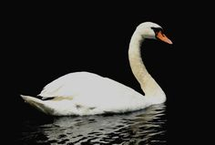 "Check out my art piece ""Elegant Swan"" on crated.com - Puslinch Ontario Canada #art #photography #swan #birds #nature"