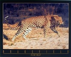 Decorate your home or office with this snarling leopard animal art print poster. This wall poster would be a perfect pick for those who like giving a wildlife touch to their house! Just place it on the wall of your living room and you can be sure of getting in numerous compliments from your guests for your excellent taste. Hurry up! Grab this wonderful poster fir its high quality with perfect color accuracy.