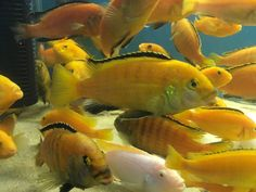 Akvaryum balıkları ; Show boy Jumbo Sarı Prensesler