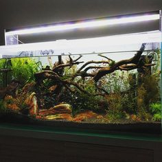 In need of a water change latenight update pic. Ug carpet was destroyed over the last week by a certain resident, probably going to use…
