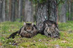 2 beautiful maine coons, via coonplace on flickr