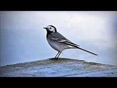 Västäräkki Blue Jay, Bird, Animals, Animales, Animaux, Birds, Animal, Animais
