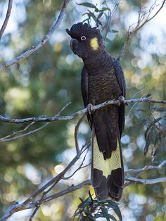 Yellow-tailed Black-Cockatoo - we have these birds visit us in our backyard in Port Macquarie! Cute Birds, Pretty Birds, Beautiful Birds, Animals Beautiful, Cute Animals, Wild Animals, Baby Animals, Exotic Birds, Colorful Birds