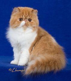 persian cat - Szukaj w Google