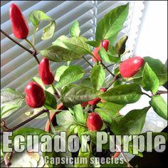 Ecuador Purple Chili Hot Pepper Chilizucht in der Wohnung