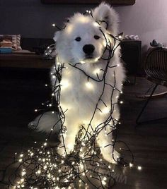 Funny. I wanted to do this to my dog when we were putting up Christmas decorations .