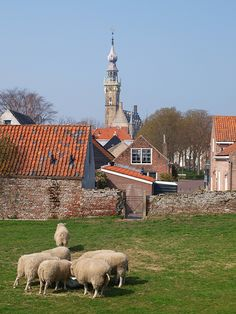 Sheep outside Veere by Wandering Aloud Blog, via Flickr