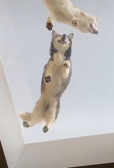 Fluffy Husky belly 💕  #FunnyAnimals #FunnyDogs #CuteDogs #Husky #AnimalLover #DogLover #Pets #FunnyPets Puppies, Twisted Humor, Animal Jokes, Pomeranian Puppy, Baby Animals, Animal Lover, Golden Retriever, Animal Pictures, Pets
