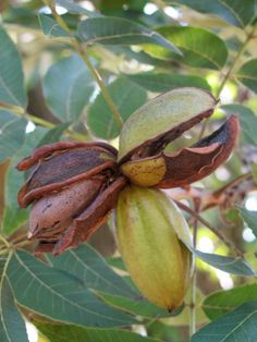 Who loves Texas pecans? The state tree. Fun Facts About Texas, Texas Quotes, Texas Pecans, Eyes Of Texas, Only In Texas, Bloom Where Youre Planted, Loving Texas, Texas Pride, Texas History