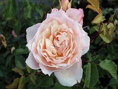 Englische Rose The Generous Gardener ® Ausdrawn ® Züchter David Austin 2002