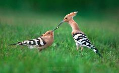 Hoopoe courtship, with the male feeding the female.  Sergey Ryzhkov photo.