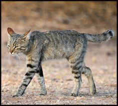 Feral cats are literally wild – born in the streets or born in the wild, totally disassociated from humans. There are 100 million feral cats globally. African Wild Cat, Rusty Spotted Cat, Black Footed Cat, Wild Cat Species, Small Wild Cats, Sand Cat, Egyptian Mau, Feral Cats, Wild Dogs