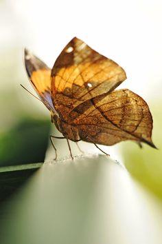 Indian Leaf Butterfly by Glenn0o7