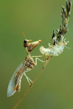 Mantispa styriaca commonly known as mantidflies, mantispids, mantid lacewings or mantis-flies