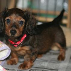 Long haired dachshund puppy - 8 weeks old
