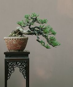 Walter Pall bonsai