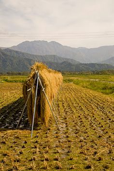 Rice Harvest in  Japan. All the rural areas are full of old people.  The young people don't want unglamorous farm jobs.