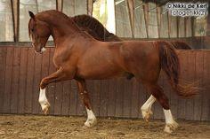 Moravita Classical Breeding Centre, Danish Frederiksborg horses