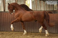 Danish Frederiksborg horse