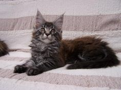 Maine Coon Kittens | Cattery de Dudies | The Netherlands | http://www.kittentekoop.nl/images/com_adsmanager/ads/12904a.jpg