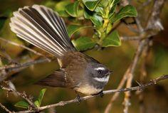 The NZ Fantail, Piwakawaka - Wayfarer Images Nz Art, Vertebrates, Bird Species, Animals Beautiful, New Zealand, Tourism, Birds, Portrait, Tattoo