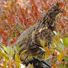 Gallery of all 50 state birds, including when and why each bird was adopted, what states share birds, and how to see each one. State Birds, Grouse, Bird Art, Habitats, North America, Photo Galleries, Wildlife, Gallery, Pictures