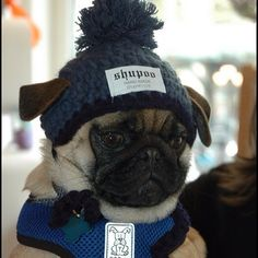 """mugsofpugs:  """"Does this hat make my ears look big?"""" (dogswearinghats (by Mr. Phipps))"""