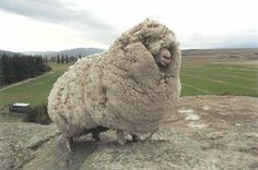 An escaped sheep was found with 60 pounds of wool. Shrek the sheep ran away and hid in a cave in New Zealand for 6 years. When Shrek was finally found in 2004, the sheep had gone unsheared for so long that it had accumulated 60 pounds of wool on its body, enough to make 20 suits! The sheep became famous and even got to meet the Prime Minister. Shrek finally passed away last month at the age of 16.   you beautiful beast of woolly muchness :D