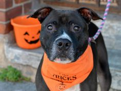 SAFE 12/22/14 Brooklyn Center BING a/k/a CLUBBER - A0928314 *** RETURNED 9/30/14 - STRAY *** AVERAGE HOME *** NEUTERED MALE, BLACK / WHITE, AM PIT BULL TER, 5 yrs STRAY - STRAY WAIT, NO HOLD Reason STRAY Intake condition EXAM REQ Intake Date 09/30/2014, From NY 11428, DueOut Date 10/03/2014, https://www.facebook.com/Urgentdeathrowdogs/photos/a.923640547648825.1073743305.152876678058553/882100401802840/?type=3&theater