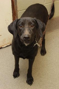Meet Fiona, an adoptable Labrador Retriever looking for a forever home. If you're looking for a new pet to adopt or want information on how to get involved with adoptable pets, Petfinder.com is a great resource.