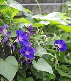 FYI - HOW PLANTS CLIMB.  All about Vines and other climbing plants.      Climbing plants climb in particular ways: some wrap, some adhere, and some curl. Learn to recognize which plants do what, so you can choose the right kind of trellis or support.