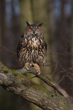 Eurasian Eagle-owl (Bubo bubo) is a species of eagle-owl resident in much of Eurasia. It is sometimes called the European Eagle-owl photographed by Milan Zygmunt Beautiful Owl, Animals Beautiful, Cute Animals, Funny Animals, Owl Photos, Owl Pictures, Types Of Eagles, Eurasian Eagle Owl, Nocturnal Birds