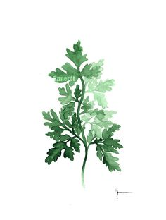 Parsley Kitchen Decor Organic Herb Garden Natural Kitchen Art Print