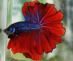 Rosetail Halfmoon Betta Fish Male. So stunning!