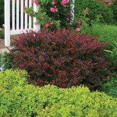 Crimson Pygmy Barberry | Naturehills.com Red Shrubs, Full Sun Shrubs, Small Shrubs, Evergreen Bush, Evergreen Shrubs, Planting Shrubs, Landscaping Plants, Garden Plants, Bloomstruck Hydrangea