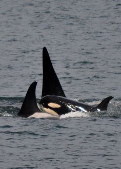Mother and Children by =Hysazu on deviantART. Orcas. Killer whale. Largest in the dolphin family. Mammal. Sentient being. Captivity kills. No more captive breeding! Empty the tanks. Pledge not to go to a marine park! Get the facts!