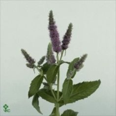 Mentha Jocka (Mint) is a fabulous purple variety. 60cm tall & wholesaled in 20 stem wraps.