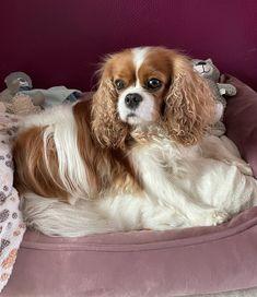 King Charles Spaniel, Cavalier King Charles, Dogs, Animals, Animales, Animaux, Pet Dogs, Doggies, Animal